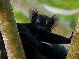 Black Lemur Male  Nosy Komba  North Madagascar  Iucn Vulnerable