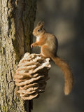 Red Squirrel on Bracket Fungus  Cairngorms  Scotland  UK