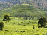 Tea Plantation Near Nyunguwe  Rwanda  Africa