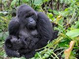 Female Mountain Gorilla with Her Baby  Volcanoes National Park  Rwanda  Africa