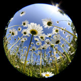 Oxeye Daisy Veiwed Through Fish-Eye Lens  Devon  UK  June 08