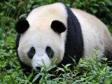 Giant Panda Bifengxia Giant Panda Breeding and Conservation Center  China
