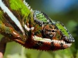 Panther Chameleon Showing Colour Change  Sambava  North-East Madagascar