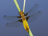 Broad-Bodied Chaser Dragonfly Cornwall  UK
