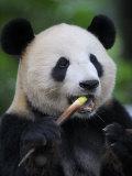 Giant Panda Feeding on Bamboo at Bifengxia Giant Panda Breeding and Conservation Center  China