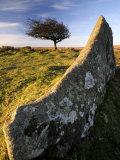 Windswept Tree with Rock in Foreground  Combestone Tor  Dartmoor  Devon  UK