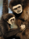 White Handed Gibbon Mother and Young  Endangered  from Se Asia