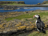 Puffin with Beak Full of Sand Eels  Isle of Lunga  Treshnish Isles  Inner Hebrides  Scotland  UK