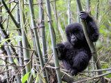 Young Mountain Gorilla Climbing on Bamboo  Volcanoes National Park  Rwanda  Africa