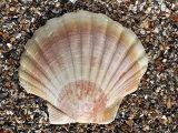 Scallop Shell on Beach, Normandy, France Papier Photo par Philippe Clement