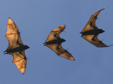 Madagascar Fruit Bat Flying Fox Berenty Reserve  Madagascar