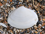 Surf Clam Shell on Beach, Belgium Papier Photo par Philippe Clement