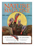 Nature Magazine - View of a Group of Turkeys  c1927
