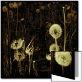 Dandelions in Various Stages