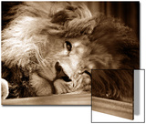 Lion Sleeping at Whipsnade Zoo Asleep One Eye Open  March 1959