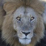 Male African Lion Face  Panthera Leo  Maasai Mara  Kenya  Africa