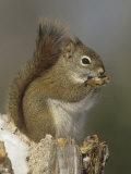A Red Squirrel Eating Seeds  Tamiasciurus Hudsonicus  Eastern North America