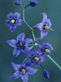Bittersweet Nightshade Flowers  Solanum Dulcamara  North America