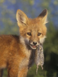 Red Fox Pup  Vulpes Vulpes  with a Captured Vole  Microtus  in its Mouth  North America