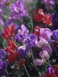 Variation in Sweet Pea Flowers  Lathurus Odoratus
