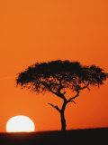Accacia Tree Silhouetted at Sunrise, Masai Mara Game Reserve, Kenya Reproduction d'art par Adam Jones