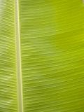 Close-Up of a Bright Green Banana Leaf