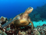Green Sea Turtle  Chelonia Mydas  Resting on a Coral Reef Off Maui  Hawaii  USA