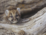 Mountain Lion  Cougar  or Puma  Felis Concolor  Cub  6 Weeks Old  Western North America