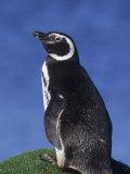 Magellanic Penguin (Spheniscus Magellanicus)  Falkland Islands
