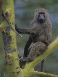 Olive Baboon  Papio Anubis  Kenya  Africa