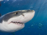 Great White Shark Head and Teeth (Carcharodon Carcharias)  Guadalupe Island  Mexico