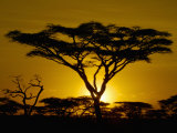 Acacia Tree Silhouette at Twilight on the Savanna of Tanzania  East Africa