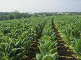 Tobacco Crop  Nicotiana Tabacum  Bluegrass Region of Central Kentucky  USA