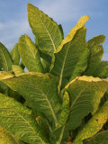 Tobacco Plant Ready for Harvest (Nicotiana Tabacum)  Tennessee  USA