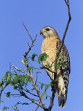 Red-Shouldered Hawk  Buteo Lineatus  Florida  USA