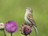 Field Sparrow (Spizella Pusilla) Singing on a Thistle Flower (Cirsium)  North America