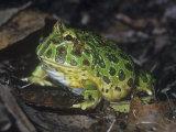 Argentine or Ornate Horned Frog  Ceratophrys Ornata  South America