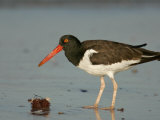 American Oystercatcher  Haematopus Palliatus  with a Sea Urchin  North America