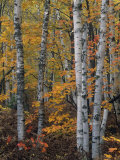 White or Paper Birch Forest in the Fall  Betula Papyrifera  North America