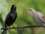 European Starling (Sturnus Vulgaris)