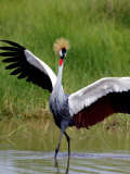 Grey Crowned Crane (Balearica Regulorum)  Tanzania
