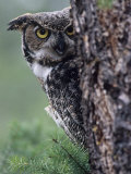 Great Horned Owl Peering from Behind a Tree Trunk (Bubo Virginianus)  North America