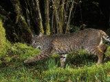 A Bobcat (Felis Rufus)  Mount Hood National Forest  Oregon  USA