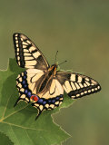 Swallowtail Butterfly (Papilio Machaon)  Japan