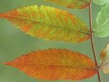 Sumac Leaves in Autumn  Rhus  Michigan  USA