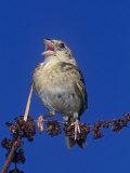 Grasshopper Sparrow Singing  Ammodramus Savannarum  Eastern USA