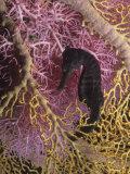 Seahorse, Hippocampus Kuda Papier Photo par David Fleetham