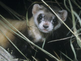 Black-Footed Ferret (Mustela Nigripes)  a Highly Endangered Species of North American Mammal