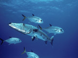 A Great Barracuda (Sphyraena Barracuda) Surrounded by Jacks