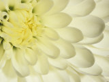 Close-Up of a White Chrysanthemum Flower